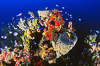 coral head encrusted with fire coral, tube worms, sponges, and oysters (at 130ft.), fire coral reef, Middlegrounds, 100 miles offshore of Tampa, Florida, USA, Gulf of Mexico, Caribbean Sea, Atlantic Ocean