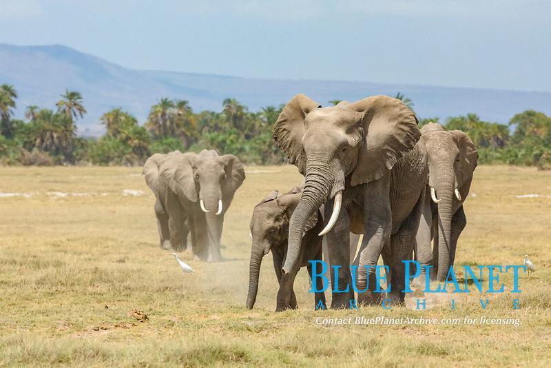 African bush elephant, African savanna elephant, Loxodonta africana, mother, calf, Amboseli National Park, Kenya