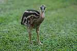 Cassowary baby chick walking a grassy lawn in an inhabited area. Dad is not far behind and he shows by actions and his baby chick follows.