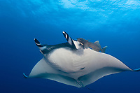 giant oceanic manta ray, Mobula birostris, formerly Manta birostris, with remoras, Roca Partida Island, Socorro Island, Baja California, Mexico, Pacific Ocean
