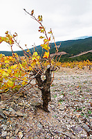 Chateau des Erles. In Villeneuve-les-Corbieres. Fitou. Languedoc. Vines trained in Gobelet pruning. Vine leaves. Old, gnarled and twisting vine. Terroir soil. France. Europe. Schist slate soil.