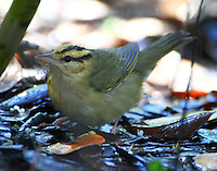 Worm-eating warbler at mister in March