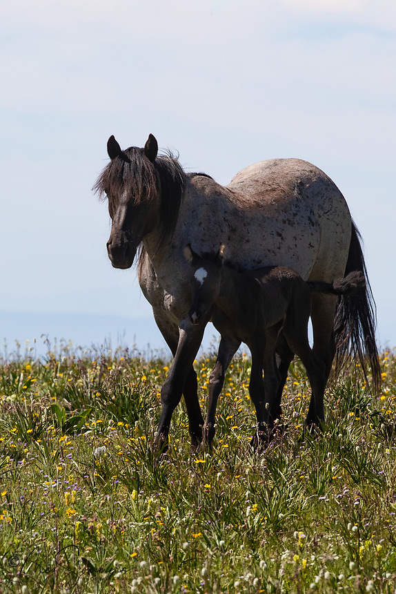 At 13, Uno Caballo is Hailstorm's first foal.  Her mother was called Aztec and her father was Cloud.