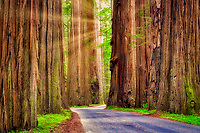 Road through Humbolt Redwoods State Park with redwoods. California
