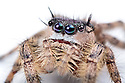 Canopy Jumping Spider female {Phidippus otiosus}, captive, orginating from North America. Size < 1cm website