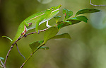 Petter's White-lipped Chameleon (Furcifer petteri) foraging amongst the understorey. Ankarana Reserve, northern Madagascar.