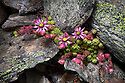 Mountain houseleek {Sempervivum montanum} growing amongst rocks on scree slope. Nordtirol, Tirol, Austrian Alps, Austria, 2500 metres, July.