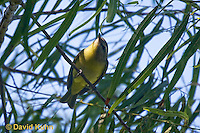0918-0901  Red-eyed Vireo, Vireo olivaceus © David Kuhn/Dwight Kuhn Photography