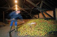 Europe/France/Normandie/Basse-Normandie/14/Calvados/Saint-Désir-de-Lisieux: Les pommes pour le cidre dans le grenier de Léon Desfrieches récoltant cidre et calvados