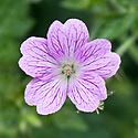 Geranium x oxonianum 'Claridge Druce', mid May.