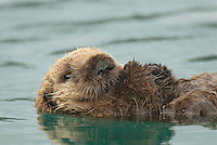 Sea Otter (Enhydra lutris) pup resting while mother dives for food.