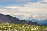 Band of Dall Sheep rams on a mountain ridge in Denali National Park, Interior, Alaska.