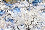 Spring snowfall, tree in canyon, Fish Lake Mountains, Utah