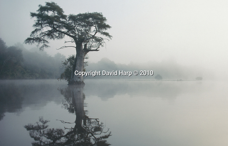 A bald cypress tree is reflected in the water of the Pocomoke River on a misty fall morning.