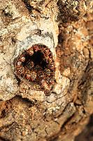 Scaptotrigona panamensis at nest (in Costa Rica).///Scaptotrigona panamensis at nest (in Costa Rica).