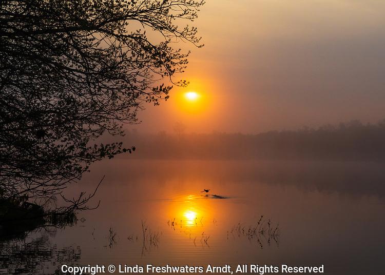Female hooded merganser taking off from a wilderness lake during the early morning sunrise.