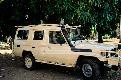 Bujumbura, Burundi. Zanbro four wheel drive vehicle beneath a mango tree with monkeys on the roof.