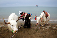 A woman tends to her yaks on the shores of Qinghai Lake. Qinghai Lake, China's largest inland body of water lies at over 3000m on the Qinghai-Tibetan Plateau. The lake has been shrinking in recent decades, as a result of increased water-usage for local agriculture. Qinghai Province. China. 2010