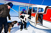 Volunteers help load dropped dogs into an airplane at the Cripple checkpoint during the 2010 Iditarod Sled Dog Race, Interior Alaska