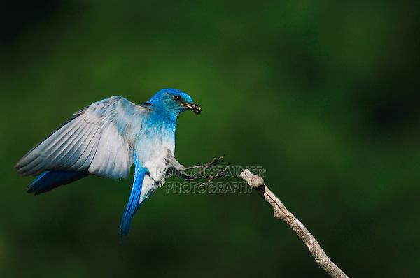 Mountain Bluebird, Sialia currucoides, adult male landing with prey, Rocky Mountain National Park, Colorado, USA