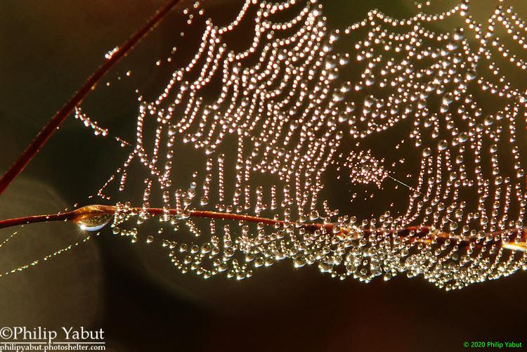 Dewdrops on a small spider web. Huntley Meadows Park, Alexandria, Virginia.