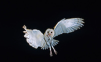 Barn Owl, Tyto alba,adult in flight with mouse, Willacy County, Rio Grande Valley, Texas, USA