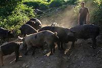 Europe/France/2A/Corse du Sud/Levie : Ferme-Auberge: A Pignata, Antoine Rocca-Serra et ses porcs  corses [Non destiné à un usage publicitaire - Not intended for an advertising use]