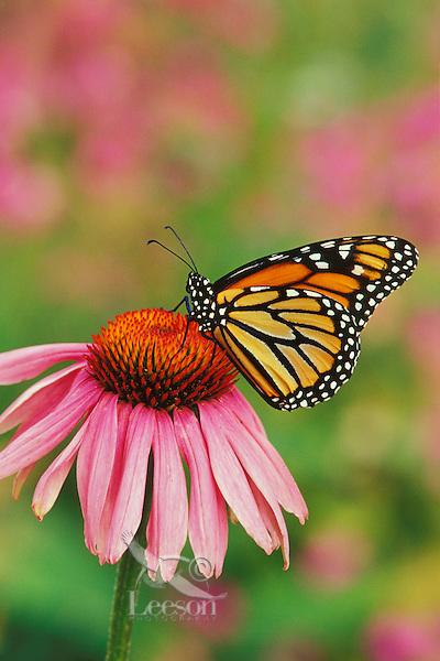 Monarch butterfly (Danaus plexippus) on purple coneflower.