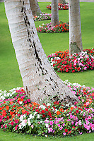 Impatiens around palm trees. Kaanapali Shores resert. Maui. Hawaii