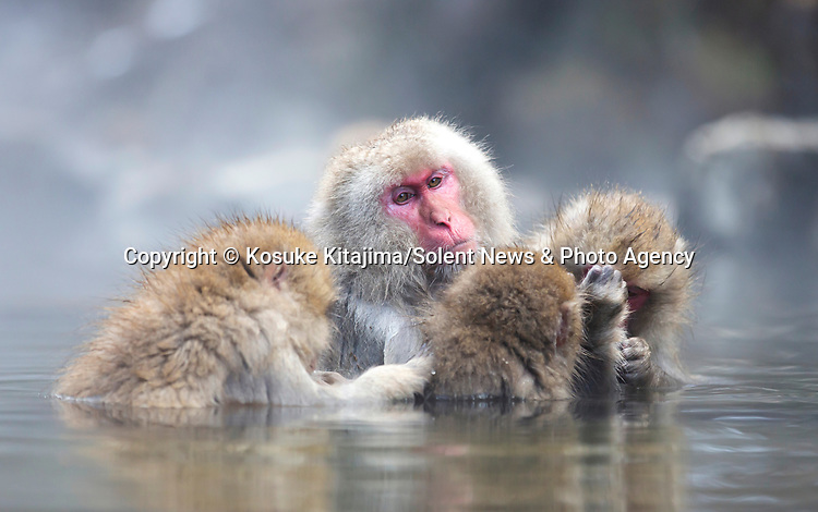 Three monkeys relax and groom each other in a hot spring while snow falls around them.  The animals appear very content sat in the warm water as the air outside the pools drops to almost -10 degrees Celsius.<br /> <br /> The endearing pictures were captured in the Joshinetsu Kogen National park in Japan, which is famous for its large population of wild Japanese macaques, more commonly known as snow monkeys, that go to the valley during the winter.  SEE OUR COPY FOR DETAILS.<br /> <br /> Please byline: Kosuke Kitajima/Solent News<br /> <br /> © Kosuke Kitajima/Solent News & Photo Agency<br /> UK +44 (0) 2380 458800