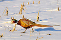 00890-038.10 Ring-necked Pheasant rooster is in a snow covered corn stubble field during winter.  Hunt, cold, farm, feed, food, survive.