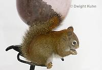 MA07-504z  Red Squirrel, on bird feeder during winter, Tamiasciurus hudsonicus