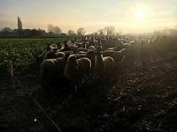 Photo: Richard Lane/Richard Lane Photography. Ewes overwintered grazing on swedes. 21/01/2019.