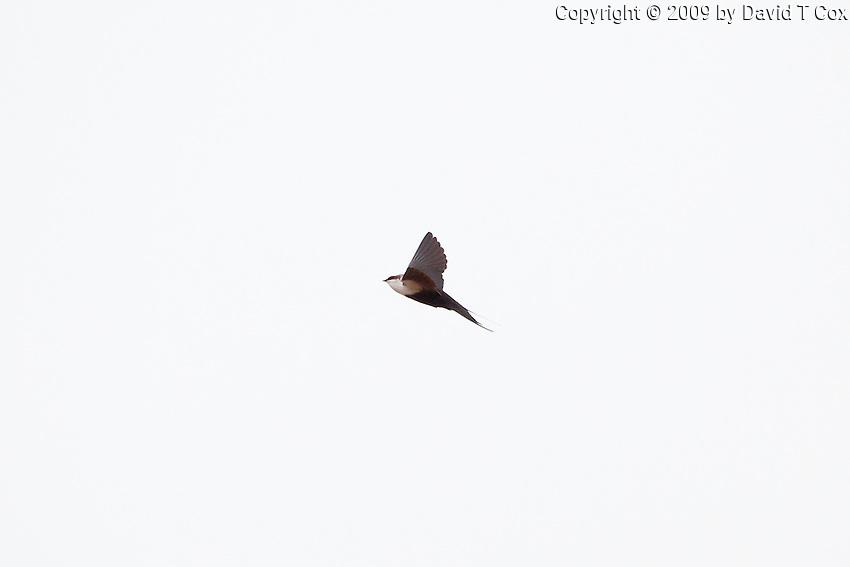 White-Backed Swallow, near Menindee, NSW, Australia