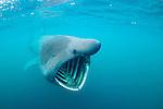 Basking Shark Scotland