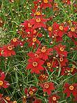 Limerock Ruby Coreopsis
