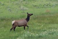 Elk at Yellowstone National Park, Wyoming