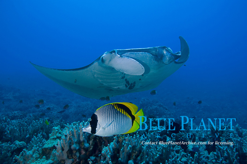 lined butterflyfish, Chaetodon lineolatus, and reef manta ray, Mobula alfredi, at cleaning station, Honokohau, Kona, Hawaii (the Big Island), Hawaiian Islands, USA, (Central Pacific Ocean)