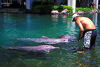 Atlantic bottlenose dolphins with trainer at Kahala Mandarin hotel on Oahu
