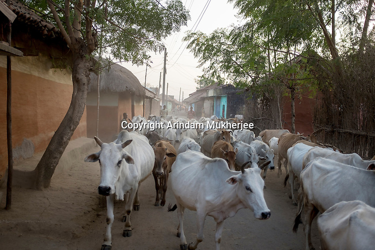 A herd of cattle returns home at the end of the day in Bango village. With its brightly coloured houses and green fields, Bango looks like a picture postcard. But inside those picturesque huts live people with physical deformities, mental illness, blindness, and speech and hearing problems—supposedly the effects of exposure to radiation from the uranium mines.