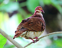 Male ruddy quail-dove