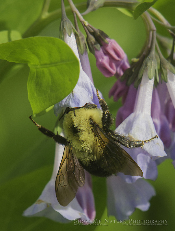 Bumblebee on Bluebell wildflowers
