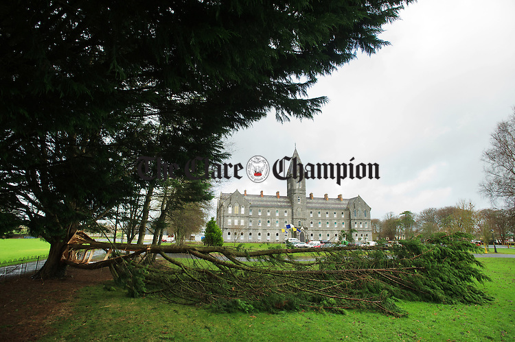 One of the trees which fell at St Flannan's College in Ennis. Photograph  by John Kelly.