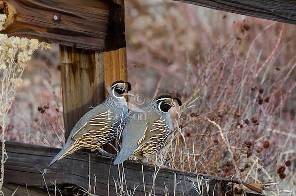 Two Male California Quail (Callipepla californica) sitting on fence, also known as the California Valley Quail or Valley Quail.  California.  Late winter-early spring.
