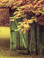Old shed with trumpet vine