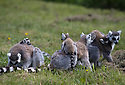 """16/05/16<br /> <br /> """"Listen children, today you're all going to learn how to climb"""".<br /> <br /> Three baby ring-tail lemurs began climbing lessons for the first time today. The four-week-old babies, born days apart from one another, were reluctant to leave their mothers' backs to start with but after encouragement from their doting parents they were soon scaling rocks and trees in their enclosure. One of the youngsters even swung from a branch one-handed, at Peak Wildlife Park in the Staffordshire Peak District. The lesson was brief and the adorable babies soon returned to their mums for snacks and cuddles in the sunshine.<br /> All Rights Reserved F Stop Press Ltd +44 (0)1335 418365"""