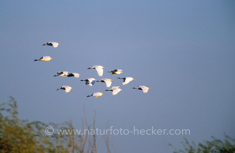 Kuhreiher, Trupp, Schwarm im Flug, Kuh-Reiher, Ardeola ibis, Bubulcus ibis, cattle egret, buff-backed heron