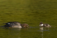 Barrow's Goldeneye (Bucephala islandica) hen with young duckling.  Western U.S., Spring.