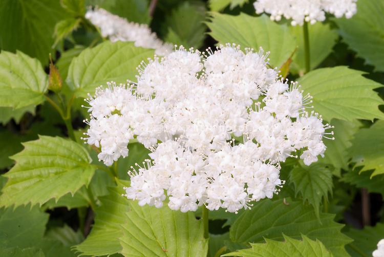 White spring flowers of shrub Viburnum 'Blue Muffin'