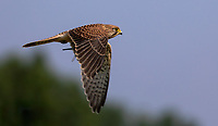 BNPS.co.uk (01202 558833)<br /> Pic: Martin Buckley/BNPS<br /> <br /> Pictured: The kestrel with the dragonfly<br /> <br /> These amazing photos capture the moment a kestrel feasts on a dragonfly it has just snared at a nature reserve.<br /> <br /> The majestic bird hovered above the colourful insect for several seconds before diving down into the long grass.<br /> <br /> It reemerged with it between its talons and flew off to 'enjoy its capture' in Eastbrookend Country Park, in Dagenham, Essex.